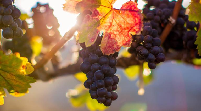 Chêne Vineyards